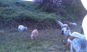 A few of the 25-30 goats on site.